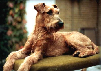 Irish Terrier Mike aus dem Imperium